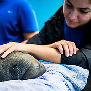 Scientist Monica Cruz braces a baby manatee while veterenarians treat the calf at the Manatee Conservation Center in Puerto Rico.