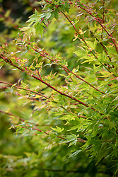 Acer palmatum 'Winter Flame' - Japanese maple