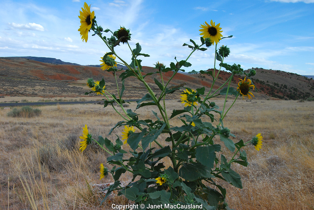 Sunflowers on the Prairie in the Badlands can withstand intense heat and drought.
