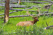 Elk or wapiti (Cervus canadensis) in meadow<br />
