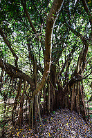 Ficus microcarpa is also called banyan, Chinese banyan, Indian laurel, or colloquially curtain fig.  It is a tree native to Asia and widely planted as a shade tree in tropical locations.  Ficus microcarpa is also popular as an ornamental plant and a common tree in warm climates.