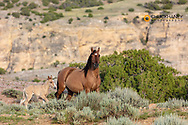 Mare with newborn foal in the Bighorn National Recreation Area, Montana, USA