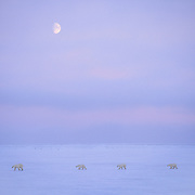 Polar Bear (Ursus maritimus) mother with cubs on the tundra during half-moon rising. Churchill, Manitoba, Canada