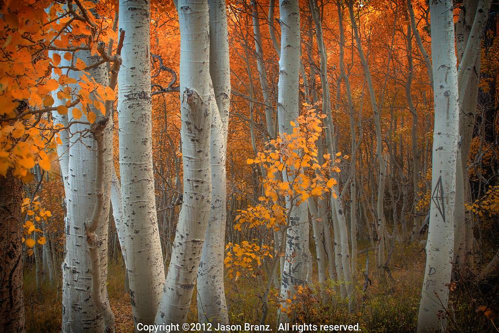 Intimate view of aspen trees in the eastern Sierra region of California.