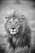 A male lion in Cottars Conservancy, Kenya