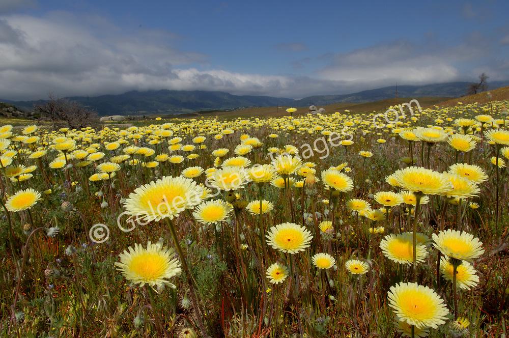 Field of wildflowers near Lake Henshaw