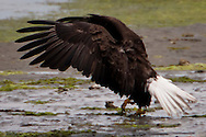 A Bald Eagle (Haliaeetus leucocephalus) (Halietus leucocephalus) appears to be dancing on the beach along Hood Canal in Puget Sound, Washington state, USA