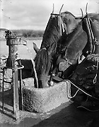Horses drinking from stone water trough. 25/04/1957