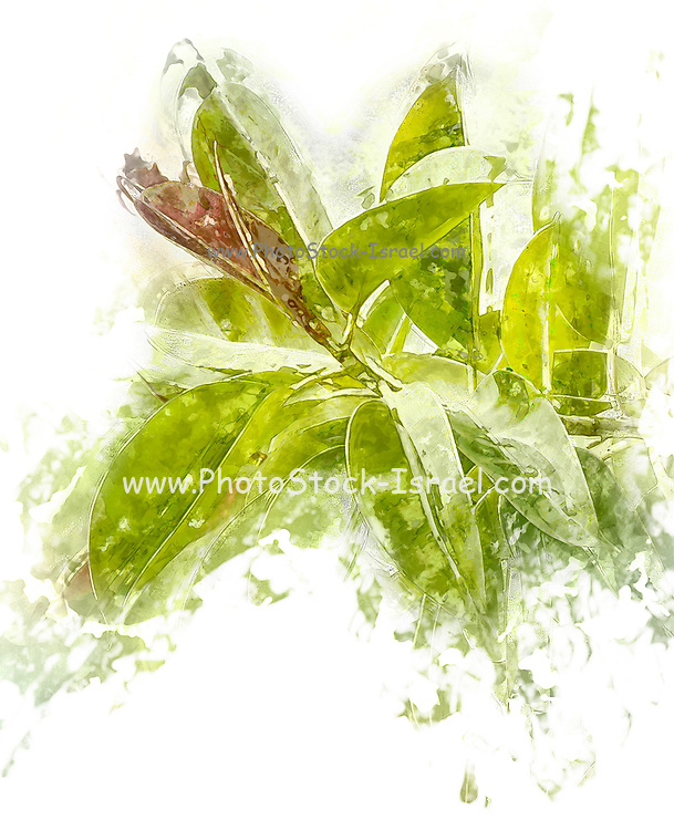 Close up of the Rubber tree AKA Rubber fig (Ficus elastica) Digitally Manipulated as a water colors painting