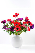 Red and purple Anemone coronaria in a white vase