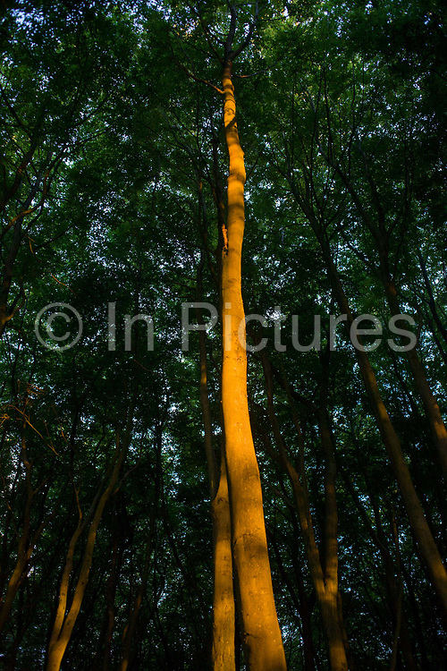 Beech trees in orange light during late evening summer sunshine in woodland in North Somerset, UK.  We look upwards to the tops of the beech which is on private land belonging to a local landowner (photographer's family) outside of Bristol in the south west. The last light finds the trees in the otherwise dense and dark woods.