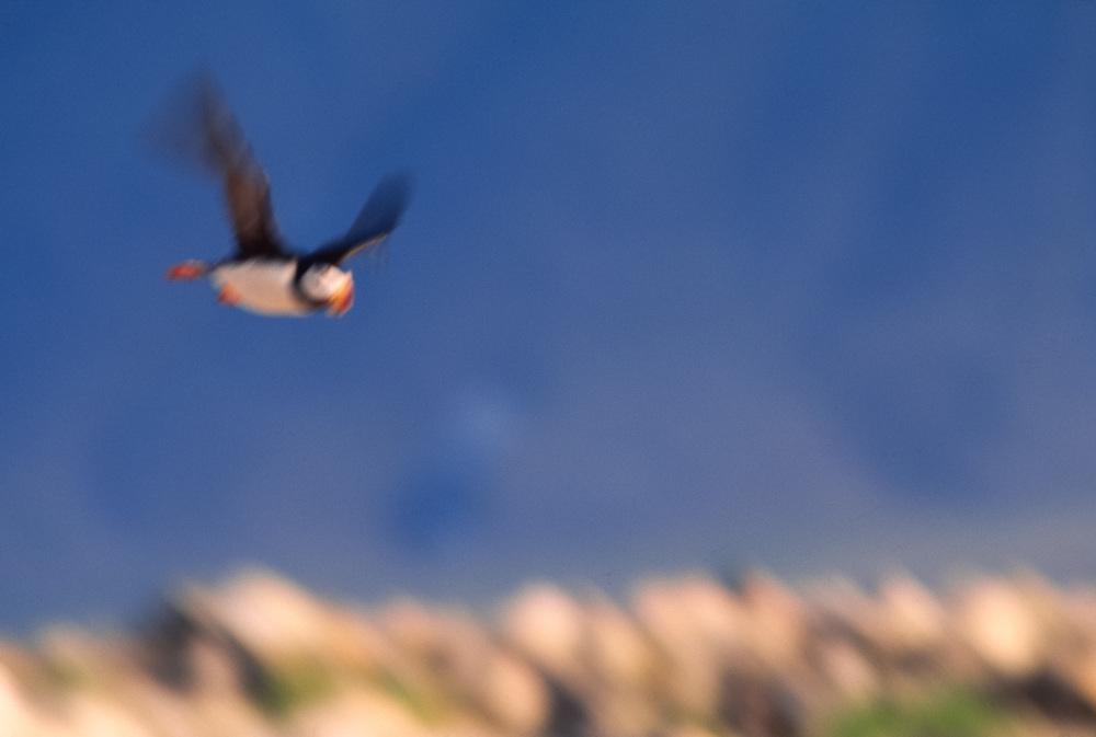 Horned puffin, (Fratercula corniculata),, summer, Meronkinkan Island, Senyavina Strait, Bering Sea, Chukotsk Peninsula, NE Russia
