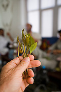 Fresh leaves of the much sought after qat at a house in Sanaa, Yemen. The men in the background were gathered for a Thursday afternoon qat chewing session.   Qat chewing is a favorite pastime among many Yemenis.