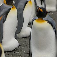 King Penguins brood their eggs on a beach at Gold Harbor, South Georgia, Antarctica.