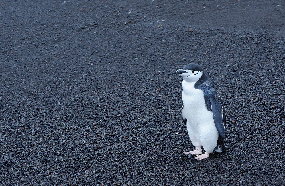 A Chinstrap Penguin (Pygoscelis antarctica) stands on the black volcanic sand on the  beach of Saunders Island. Saunders Island, South Sandwich Islands. South Atlantic Ocean. 25Feb16