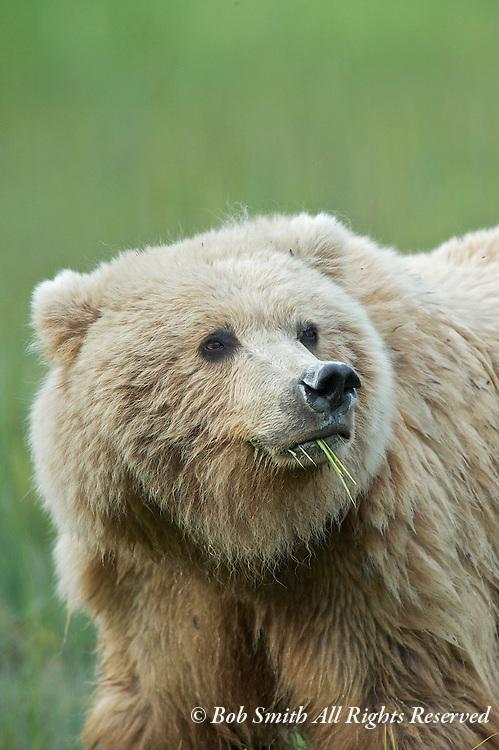 Coatal brown bears at Silver Salmon Creek Lodge, Lake Clark National Park, Alaska (20100723)