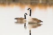 Canada Geese, Montana.