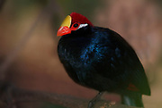 Violet Turaco, Musophaga violacea, colourful blue with red head, captive.