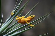 A Panamanian Golden Frog Striking An Interesting Pose, Atelopus zeteki, The All Yellow Variety