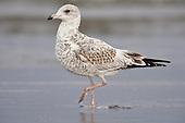 California Gulls