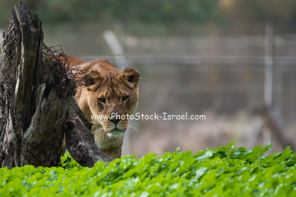 African Lion in captivity