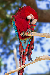 The Green-winged Macaw, also known as the Red-and-green Macaw, is a large mostly-red macaw of the Ara genus. This is the largest of the Ara genus, widespread in the forests and woodlands of northern and central South America.<br /> <br /> The green-winged macaw is a large parrot covered with mostly red plumage. The wing and tail feathers are blue and green, hence its name. This macaw has a white, naked face, striped with small red feathers. The beak is strongly hooked and the feet are zygodactylous (2 toes that point forward and 2 toes that point backward).<br /> <br /> Macaws are very messy eaters - their extremely strong beaks are perfectly adapted for eating all sorts of nuts and seeds, as seen in their ability to crack open incredibly hard-shelled nuts (such as Brazil nuts) with ease. In the course of daily feeding, macaws allow plenty of seeds (while eating, as well as in their droppings) to fall to the forest floor, thus regenerating much of the forest growth.<br /> <br /> Largely a forest dwelling species, green-winged macaws, along with many of their parrot relatives, are under pressure from deforestation and human population growth.