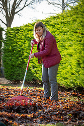 Gathering up fallen leaves off a lawn using a rake.