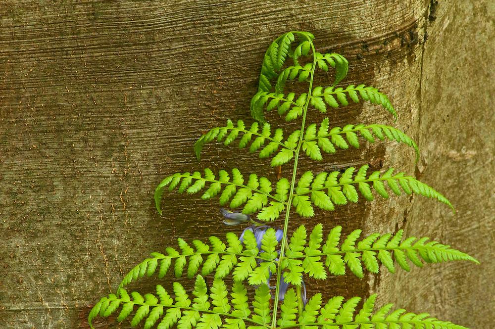 Bracken Pteridium aquilinum, Hallerbos forest Belgium