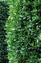Laurus nobilis - bay as hedge.