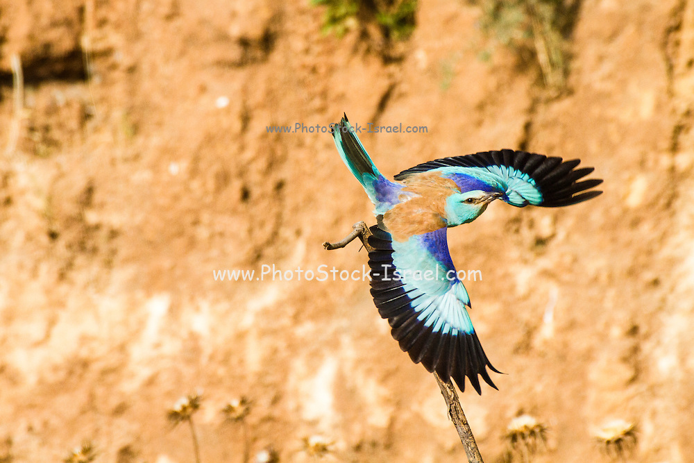 European roller (Coracias garrulus) in flight. This migrant bird is the only roller bird family member to breed in Europe. It is also found in the Middle East, Central Asia and Morocco, and winters in southern Africa. It often perches conspicuously in the tops of trees, where it can spot prey such as insects and lizards, although it is known to take small birds, frogs and mammals. Photographed in Northern Negev, Israel
