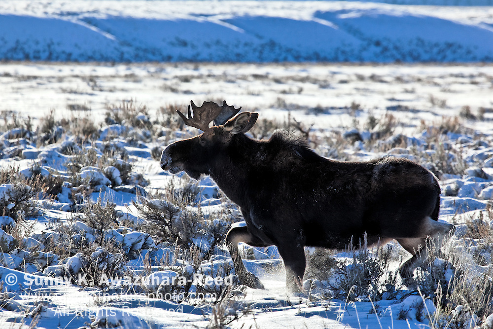 A huge bull moose running on a snowy valley in Grand Teton National Park, Wyoming on a sunny day.  Winter Scene.