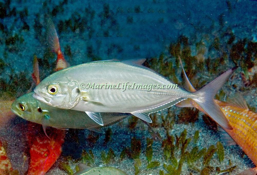 Blue Runne inhabit open water in Tropical West Atlantic; picture taken Key Largo, FL.