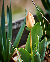 Tulip. Image taken with a Nikon 1 V3 camera and 70-300 mm VR lens.