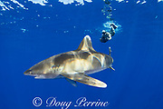 free-diving photographer and oceanic whitetip shark, Carcharhinus longimanus, off the north Kona Coast of Hawaii Island ( the Big Island ), Hawaiian Islands, U.S.A. ( Central Pacific Ocean )