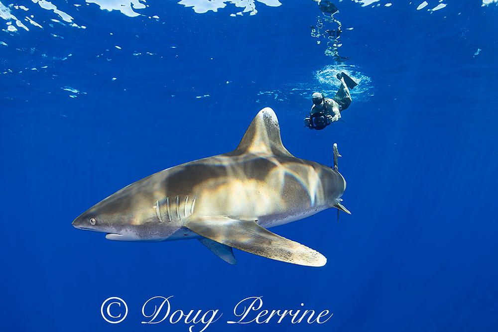 free-diving photographer and oceanic whitetip shark, Carcharhinus longimanus, off the north Kona Coast of Hawaii Island ( the Big Island ), Hawaiian Islands, U.S.A. ( Central Pacific Ocean )