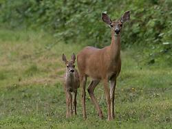 United States, Washington, Carnation, deer and fawn