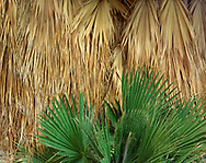 CADAB_127 - USA, California, Anza Borrego Desert State Park, Old and new leaves of California fan palms, Mountain Palm Springs.