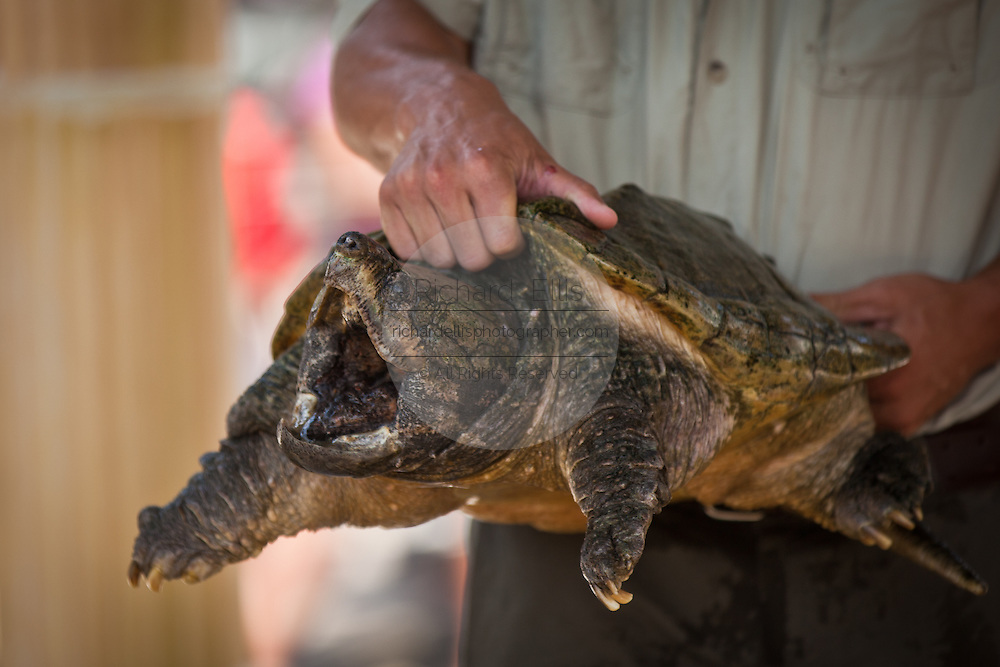 Alligator Snapping Turtle (Macrochelys temminckii) is one of the largest freshwater turtles in the world in Myrtle Beach, SC.