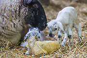 Lambing in Seaford, East Sussex Photo Jane Stokes