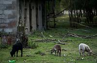 Zdjecie ilustracyjne. Owce w gospodarswie rolnym na Podlasiu we wsi Gredele fot Michal Kosc / AGENCJA WSCHOD
