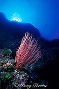 red sea whips or gorgonian octocoral or soft coral, Ellisella sp., Palau ( Belau ), Micronesia. Western Caroline Islands ( Western Pacific Ocean )