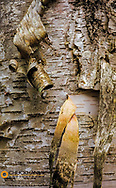 Birch bark curl in Pictured Rocks National Lakeshore, Michigan, USA