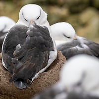 A black-browed albatross sleeps on a mud nest in a colony on New Island, Falkland Islands.