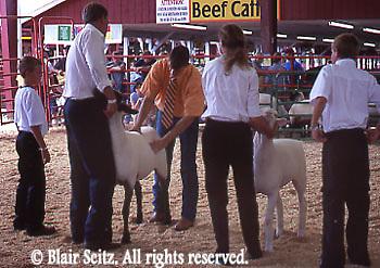 Sheep Judging, Wayne Co., PA Country Fair, NE PA