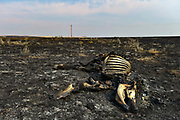 The remains of a cow lost to the Bridge Coulee Fire within the Lodgepole Complex rests on charred L O Bar Ranch pastureland near Sand Springs, Montana on Monday, July 24, 2017. An estimated 1,295,959 acres burned across the drought-plagued state of Montana during the fire season of 2017. The Lodgepole Complex burned over 270,000 acres, making it the largest wildfire in the U.S. in 2017.