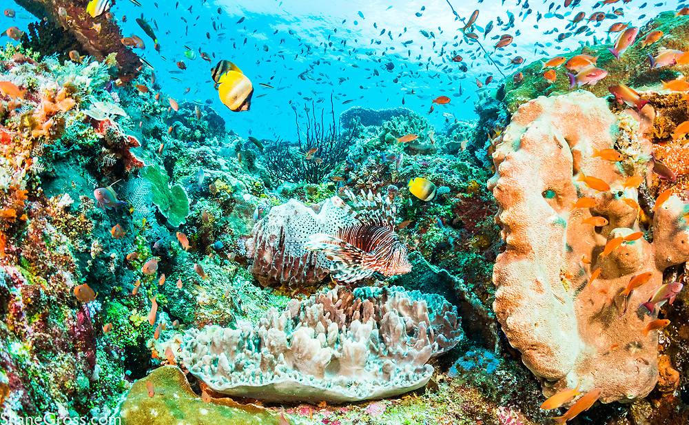 Lionfish are right at home in the Indian and Pacific oceans.