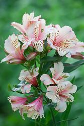 Alstroemeria 'Dirty Dancing'. Peruvian Lily