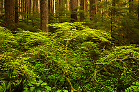 Spring greens, vine maple, Sol Duc Rainforest, Olympic National Park, WA, USA