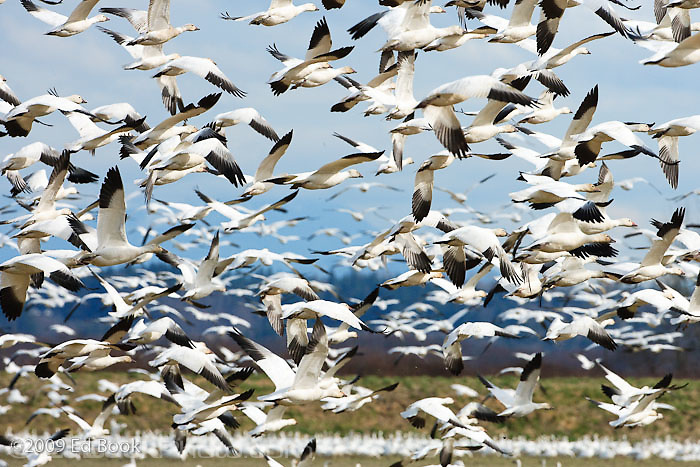 Snow Geese (Chen caerulescens) wintering at the Skagit River delta in Skagit County, Washington, USA.