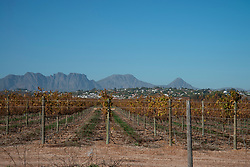 Fall-colored vineyards are seen in Stellenbosch, Western Cape on 30 May, 2020. As South Africa slowly began to ease lockdown, wine country ramained closed, along with the prohibition on alcohol sales. PHOTO: EVA-LOTTA JANSSON